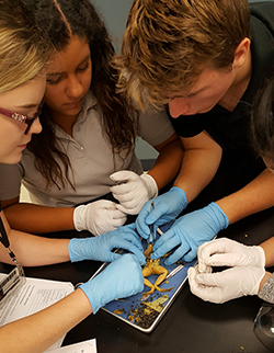 Students dissecting frog